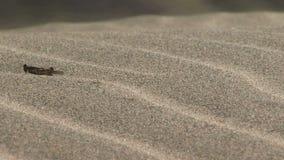 Gräshoppabanhoppning på sand som flyttar sig med vinden