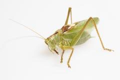 gräshoppagreen Arkivfoto