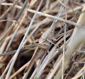 Gräshoppakamouflage Royaltyfria Bilder