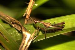 gräshoppaleaf Royaltyfria Bilder