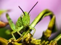 gräshoppamakro Royaltyfri Foto