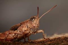 gräshoppamakro Arkivbilder
