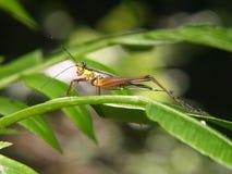 gräshoppamakro royaltyfria foton