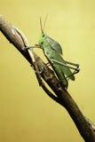 gräshoppan fattar royaltyfria bilder