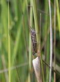 Gräshoppan klamra sig fast intill ett grässtrå Royaltyfri Fotografi