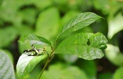 Gräshoppan med guling och svart färgar att hänga på bladet i trä Royaltyfri Fotografi