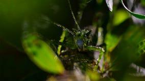 Gräshoppan på gröna sidor i skogen, Foz gör Iguacu, Brasilien arkivfoton