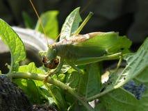 Gräshoppan på potatoebladet äter royaltyfria foton