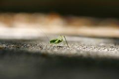Gräshoppan på skärpa fodrar Fotografering för Bildbyråer