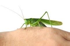Gräshoppan räcker på arkivfoton