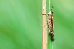 Gräshoppan sitter på en filial Arkivfoton
