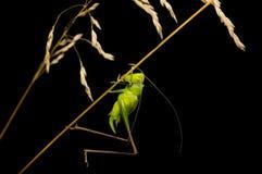 Gräshoppan sitter på ett grässtrå Royaltyfri Bild