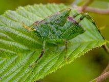 Gräshoppanymf som går på ett blad arkivbilder