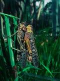 gräshoppareproduktion fotografering för bildbyråer