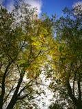 Gräshoppaträd i höstsolljus royaltyfria bilder