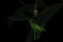 Gräshoppautgjutelsehud Arkivfoton