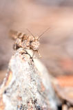 Gräshoppaverticalstående Royaltyfri Fotografi