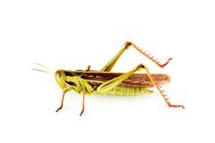 gräshopper Arkivbild