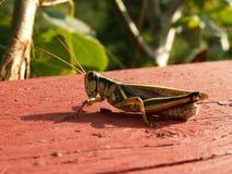 gräshopper fotografering för bildbyråer