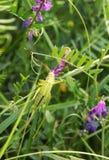 Gräshopper på en växtstam Arkivbild