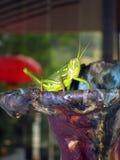 gräshoppor Arkivbilder