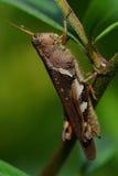gräshoppor Arkivbild
