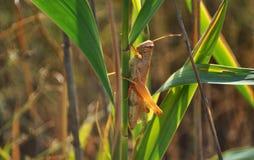 gräshoppor Royaltyfri Foto