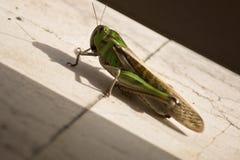 gräshoppor Royaltyfria Foton