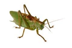 gräshoppor Fotografering för Bildbyråer