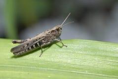 gräshoppor Royaltyfria Bilder