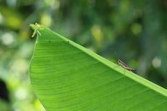 gräshoppor Arkivfoton
