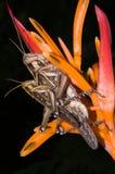 Gräshoppor går till att föda upp på blomman Royaltyfria Foton