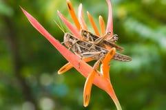 Gräshoppor går till att föda upp på blomman Arkivbilder