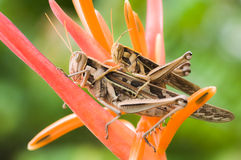 Gräshoppor går till att föda upp på blomman Fotografering för Bildbyråer