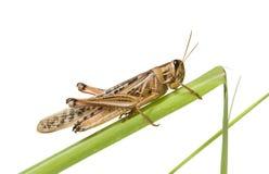 Gräshoppor på en grön växt Arkivbilder