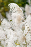 gräsjapansilver Arkivfoto