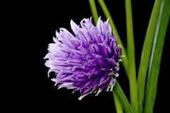 gräslökar Royaltyfria Bilder