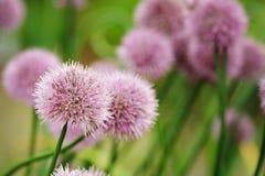 gräslökar fotografering för bildbyråer