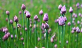 gräslökar arkivfoto