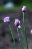 gräslökar royaltyfri foto