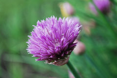 gräslökar Royaltyfri Fotografi