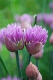gräslökar Royaltyfri Bild