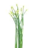 Gräslökar blomma eller kinesgräslök Arkivfoto
