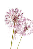 gräslökar blommar något fotografering för bildbyråer