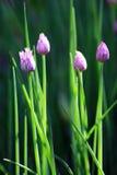 gräslökblommor Arkivfoto