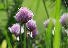 Gräslöken blommar i trädgård Royaltyfria Foton