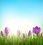 Gräsmatta för grönt gräs med violetta krokusar och soluppgång på blått floror stock illustrationer