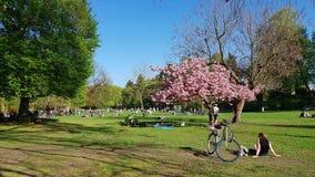 Gräsmatta med blooning av den japanska körsbäret i det kommunalt parkerar i Pank Fotografering för Bildbyråer