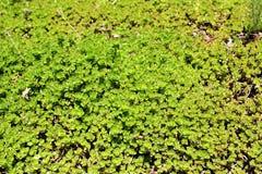 Gräsmatta med Sedum Spurium Arkivfoto