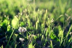 Gräsmatta med växt av släktet Trifoliumblomman och den mjuka solen tänder Arkivfoton